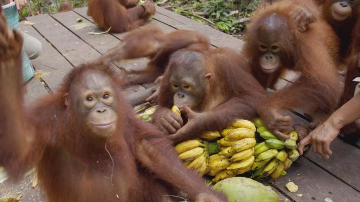 u2018orangutan jungle school u2019 preview
